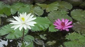 Flowers of pink and white Lotus have revealed in a reservoir