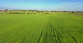 Aerial Drone Shot over Large Green Wheat Field Stock Footage