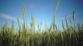 camera moves with ripe ears of wheat and a rye against the background of the blue sky with a bright sun across the field 動画素材