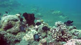 imagens : underwater landscape of the tropical sea, fish and corals of different color