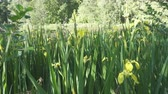 espécies : Iris pseudacorus yellow flag, yellow iris, water flag, lever is a species in the genus Iris, of the family Iridaceae on the bank of the lake in sunny day