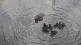 pato real : Duck with ducklings on walk floating in the pond water in sunny day. Harmony of nature Vídeos