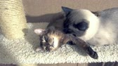 siyam : adult cat mekong bobtail licks a neck kitten somali