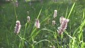 rostlina : Sanguisorba officinalis Pink Tanna close up in summer sunny day