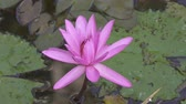 flor de loto : Flowers of pink Lotus have revealed in a reservoir. Clip 4k high resolution Archivo de Video