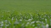 springtime : Long Shot Low Dof The Green Grass Swaying in the Wind