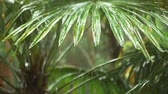 saturated : Tropical rain. drops falling on the large green palm leaves. 4k Stock Footage