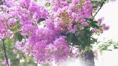 lagerstroemia : Lagerstroemia indica flower is a large bouquet of purple hanging from the tree. Lagerstroemia indica from spring with natural sunlight. 4k, stadikam