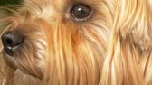 jorkšírský : Muzzle Yorkshire terrier, close-up, brown eyes. Dostupné videozáznamy
