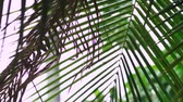 deštivý : close-up. Tropical rain, season of precipitation. Rain on the background of palm leaves. Dostupné videozáznamy