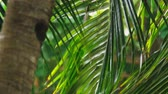 bystřina : close-up. Tropical rain, season of precipitation. Rain on the background of palm leaves. Dostupné videozáznamy