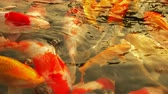 金魚 : Beautiful colorful fish mirror carp swim in the clear water. 動画素材