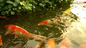 horta : Beautiful colorful fish mirror carp swim in the clear water. Stock Footage