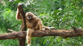緩和 : close-up. female White-cheeked gibbon. Hylobates leucogenys. sits on a tree in the wild