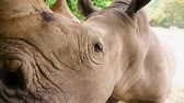 rhino poaching : Close-up of the rhinoceros muzzle, which looks into the camera, small eyes and big ears. Stock Footage