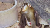 brunei : lapunder, male pig tailed macaque in the zoo aviary Stock Footage