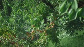 exteriors : ripe juicy peaches on a branch among green leaves. Stock Footage