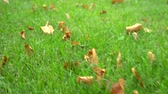 сентябрь : concept autumn background. grass texture. Fallen leaves on green grass Стоковые видеозаписи
