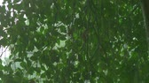 bystřina : detail of a tree on a rainy day. Close-up of a downpour on a background of tree foliage. Dostupné videozáznamy