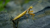 stone wall : brown-green mantis on a rock. close-up. disguise as wilted leaves