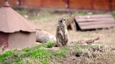 adapted : Meerkat.Meerkat watching around . Stock Footage