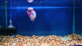 животные : Flowerhorn in aquarium with blue background