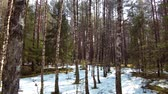 winter forest with melting snow in spring Stok Video