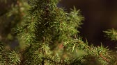 Young Common juniper, Juniperus communis tree, close-up