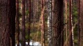 Tiny bents swing in the pine forest close up, shallow DOF