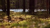 Pine and moss forest panorama.
