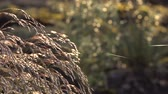 Бургундия : Ornamental Grass: Fountain Grass sways in the wind ant thin spider yarn Стоковые видеозаписи