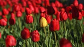 Флорес : One yellow tulip flower in the mid of a lot of red flowers Стоковые видеозаписи