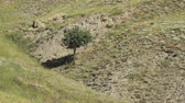 silence : lone tree growing in the gorge at day Stock Footage