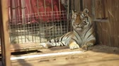 пантеры : Tiger lying on its side in a zoo day