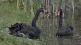 no people : Two black swan floats in a pond Stock Footage