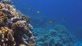 dahab : Underwater Colorful Tropical Fishes and Beautiful Corals. Red sea Sharm el Sheikh Egypt Stock Footage