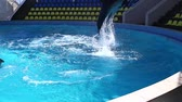 wet : Jumping dolphin in the pool.