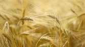 Wheat close-up with defocused background.