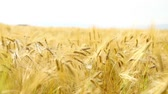 Yellow wheat field and the blue sky with clouds. Stock Footage