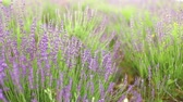 Lavender flower field, close-up with soft focus for natural background.