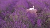 Harvested lavender flowers on white vase over field on background.