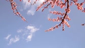 Blooming trees in spring on a sunny day. Stock Footage