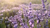 Lavender Field in the summer over sunset sky. Stock Footage