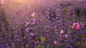 Branches of flowering lavender on sunset rays.