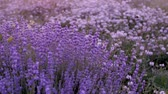 Bushes of flowering lavender on the field.
