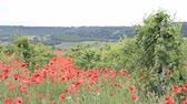 Bright red poppies in a vineyard in Crimea region. Stock Footage