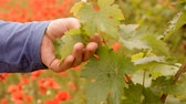 Hand holding a grape leaf. Bright red poppies in a vineyard in Crimea region. Stock Footage