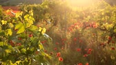 Sunset light with red poppies in a vineyard in Crimea region.