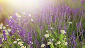 Blooming flowers field. Lavender flower field, close-up with soft focus for natural background.