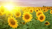 Blooming sunflowers over the sunset sky background. Stock Footage